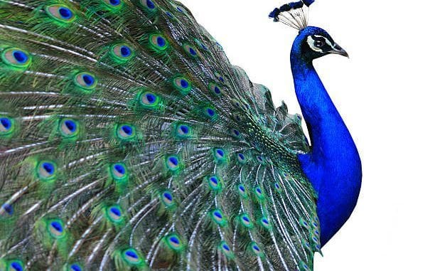 Peacock Tattoos Meaning